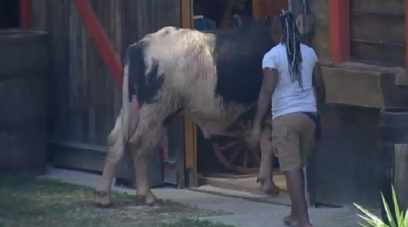 Búfalo invade celeiro e Pepê e Neném se desesperam