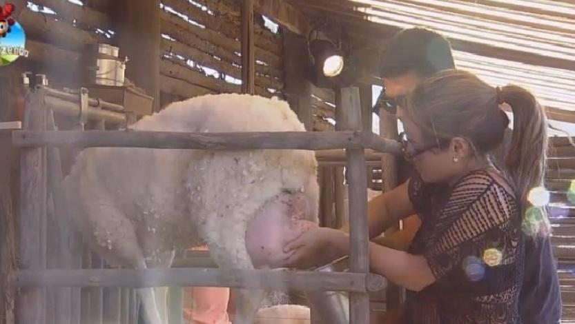 MC Bruninha ordenha a ovelha com a ajuda de Marlos Cruz e a supervisão do caseiro