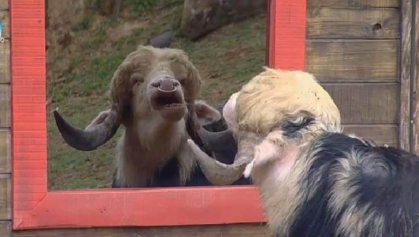 """2.10.2014 - Búfalo faz careta em frente ao espelho do celeiro de """"A Fazenda 7"""""""