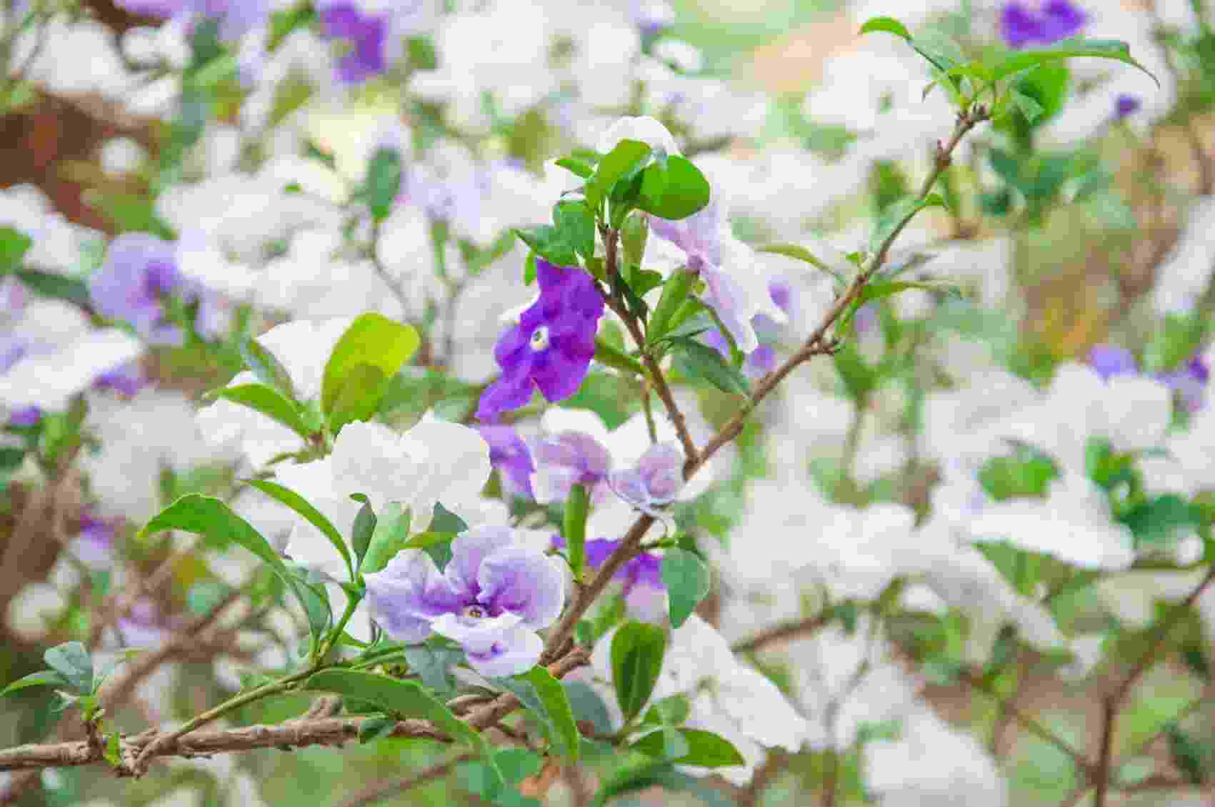 Brunfelsia uniflora - manacá-de-cheiro - Getty Images