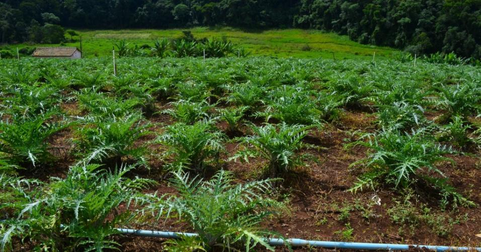 Vista de plantação de alcachofras de São Roque