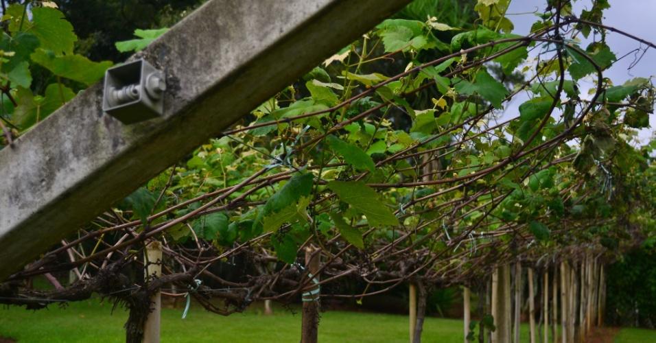 Pequena amostra das plantações de uvas em exposição na vinícola e restaurante Canguera
