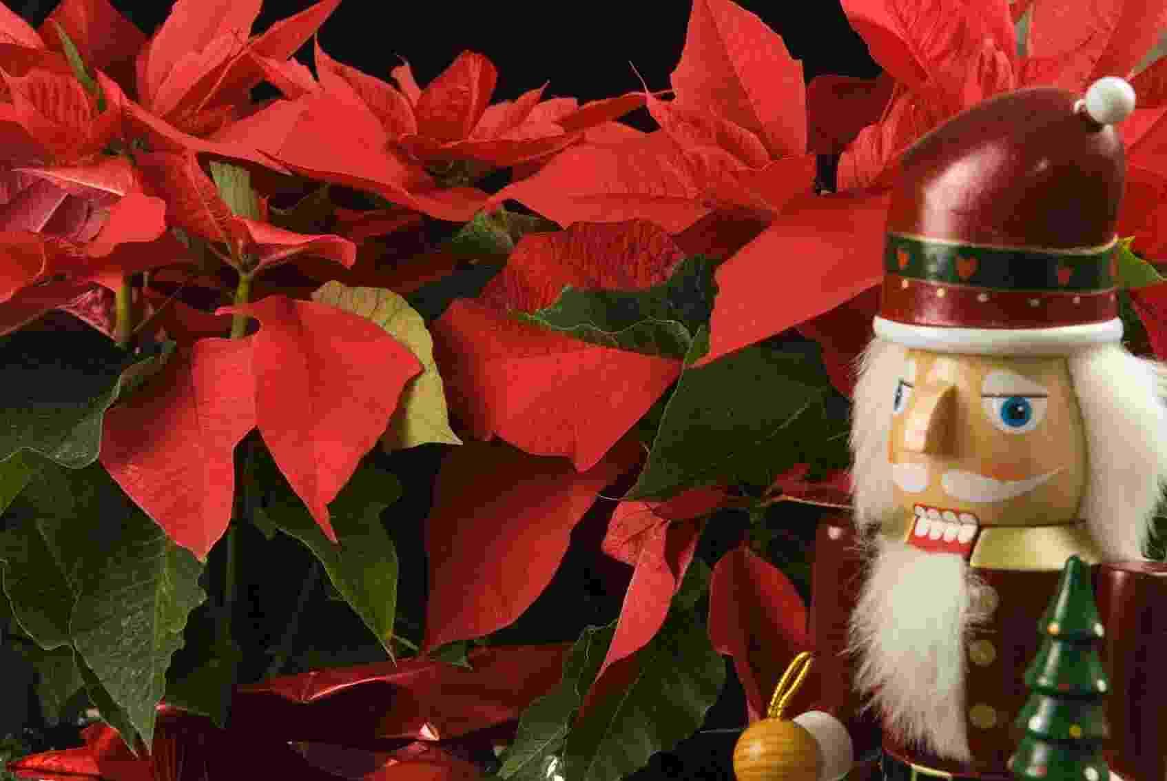 Por que o bico de papagaio (ou poinsétia) ficou conhecido como a flor do Natal? - Getty Images