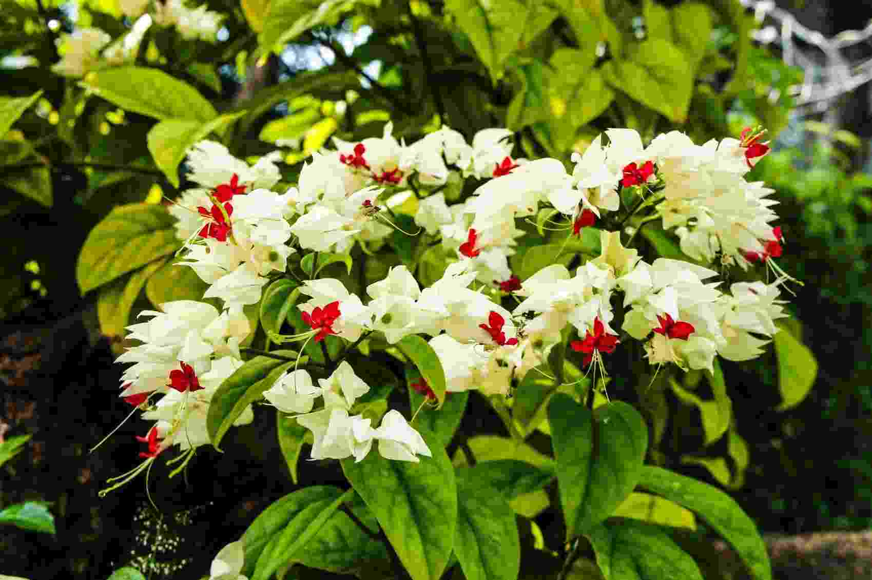 Lágrima de cristo - Clerodendrum  thomsoniae - Getty Images