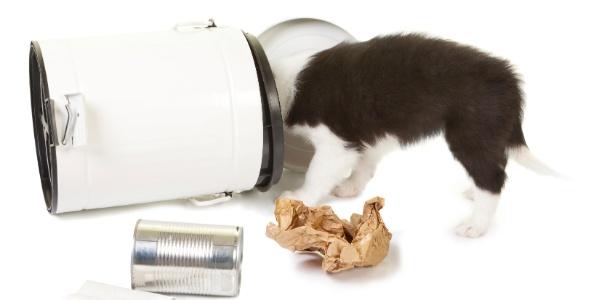 Ao fuçar no lixo, o animal pode acabar ingerindo resíduos como lacres de latas - Getty Images