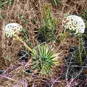 A sempre-viva chamada Actinocephalus ciliatus é popularmente conhecida como chuveirinho. É uma espécie própria para o  cultivo em vasos, pois se desenvolve bem em pequenos espaços - Renato Ramos/ Divulgação