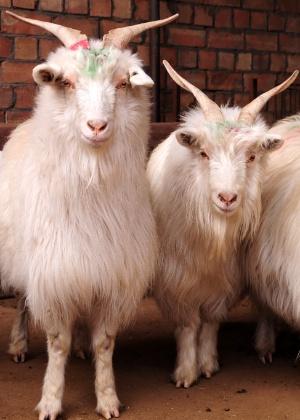 O bode ou a cabra simbolizam este Ano-Novo chinês - Xinhua/Zhi Maosheng