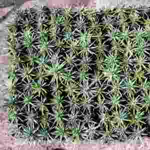 A sempre-viva chamada Actinocephalus ciliatus é popularmente conhecida como chuveirinho. É uma espécie própria para o  plantio em vasos, pois se desenvolve bem em pequenos espaços. Na foto, o cultivo em viveiro - Renato Ramos/ Divulgação
