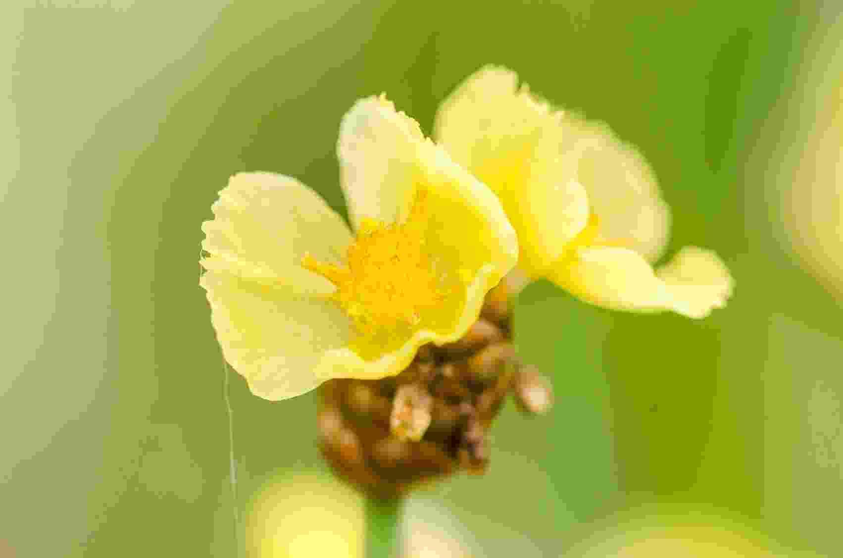 No Brasil também existe a produção de mudas das Xyris (sempre-viva da família Xyridaceae), chamadas de pimentinha ou cabeça-de-nego. É uma das maiores dentre as espécies do gênero. Na foto, o detalhe de uma flor - Getty Images