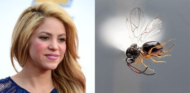 A cantora Shakira foi a inspiração dos cientistas ao nomear uma vespa que tem a habilidade de mover muito o abdômem