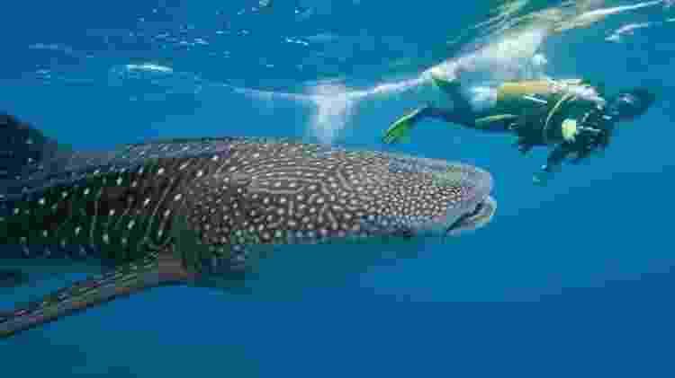 Mergulhador nada ao lado de tubarão-baleia - Getty Images - Getty Images