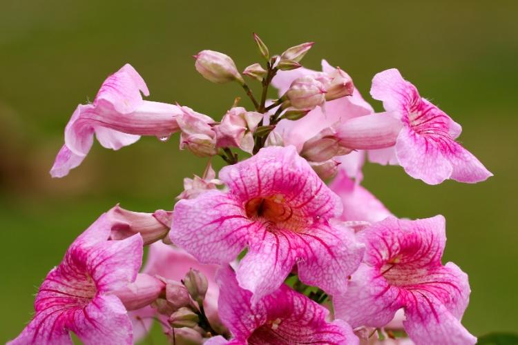)  Com florescimento abundante e vigoroso, as primaveras podem ser