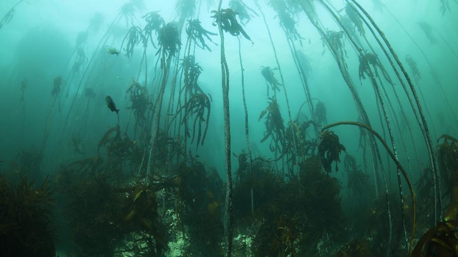 """As """"kelp forests"""" são um cenário submarino surreal nos arredores da Cidade do Cabo - Divulgação/Cape Town Dive Centre"""