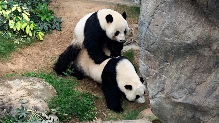 Ying Ying e Le Le têm 14 anos e chegaram ao Ocean Park há 13, quando tinham pouco mais de 12 meses - Reprodução/Twitter