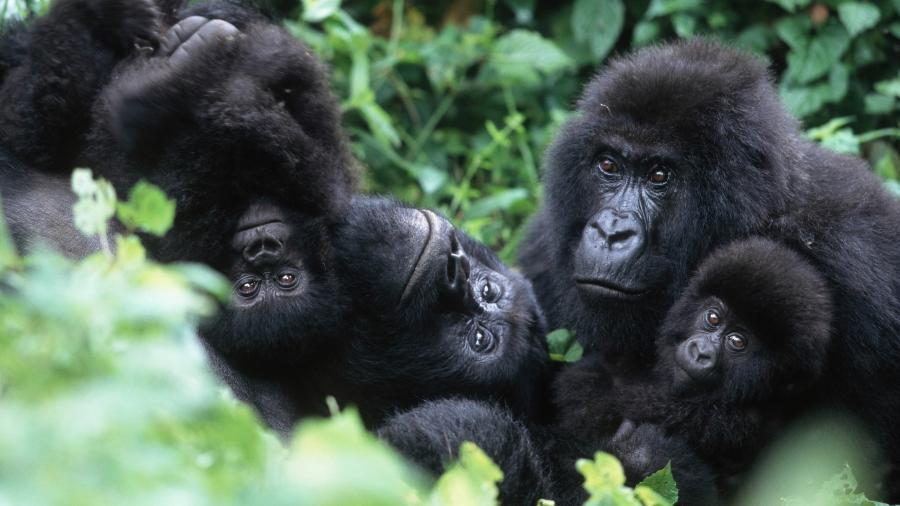 Família de gorilas na República Democrática do Congo - Martin Harvey/Getty Images