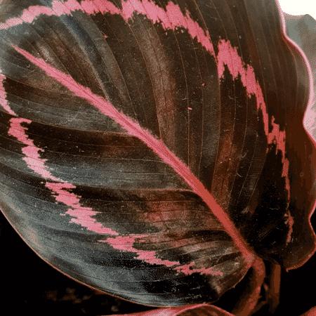 calathea rubi - Arquivo Pessoal - Arquivo Pessoal