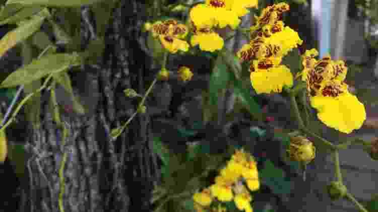 Chuva-de-ouro - Carol Costa/Minhas Plantas - Carol Costa/Minhas Plantas
