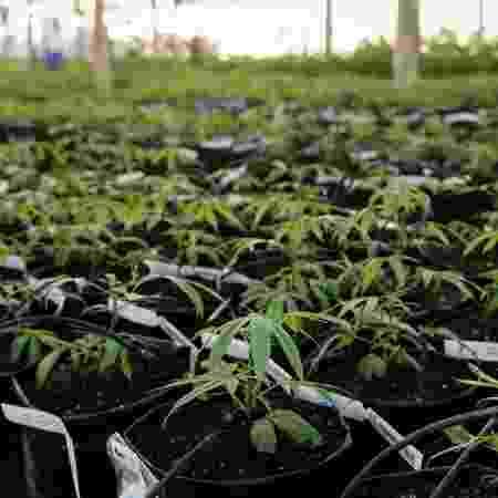 Está marcada para amanhã a audiência pública para discutir cultivo de maconha para fins medicinais - IRCCA