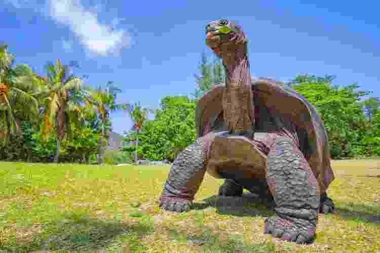 A tartaruga gigante Aldabra (Aldabrachelys gigantea), das ilhas do Atol Aldabra nas Seychelles, é uma das maiores tartarugas do mundo - Getty Images - Getty Images
