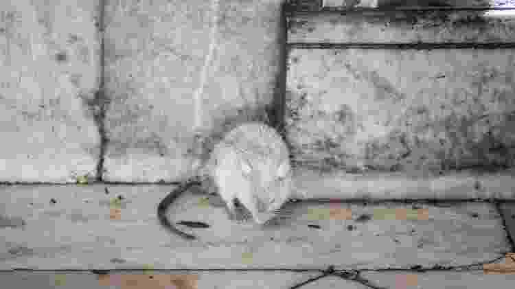 É sinal de boa sorte se o turista conseguir ver um rato branco no meio dos roedores cinzentos do templo de Karni Mata, na índia - iStock/Getty Images - iStock/Getty Images