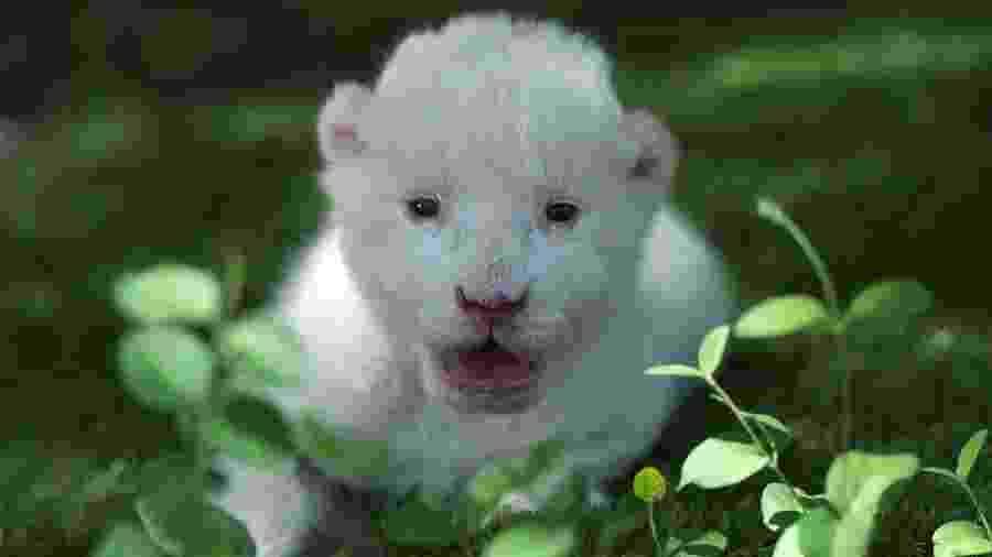 Ele é o primeiro leão branco que vem ao mundo em um parque zoológico na Espanha - AFP