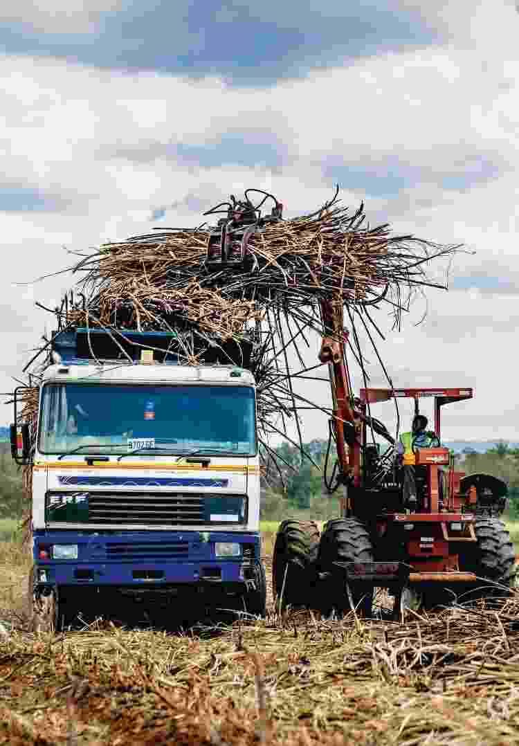 Colheita da cana-de-açúcar em Appleton, St. Elizabeth, na Jamaica - Shannon Surgis - Shannon Surgis