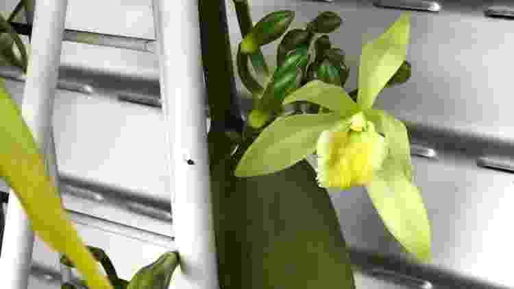 Orquídea baunilha - Carol Costa/Minhas Plantas - Carol Costa/Minhas Plantas