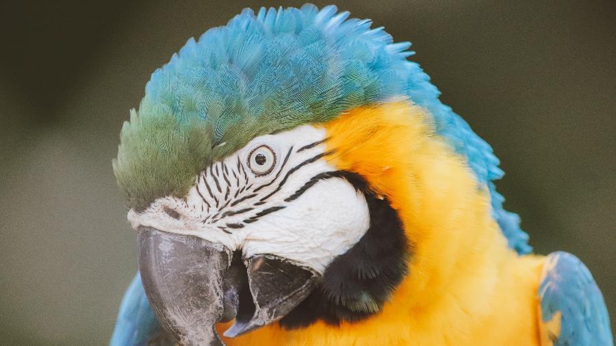 Arara-canindé no Bioparque do Rio, localizado na região de São Cristovão; espécie espera por namorado há duas décadas - Juan Carvalho/Divulgação