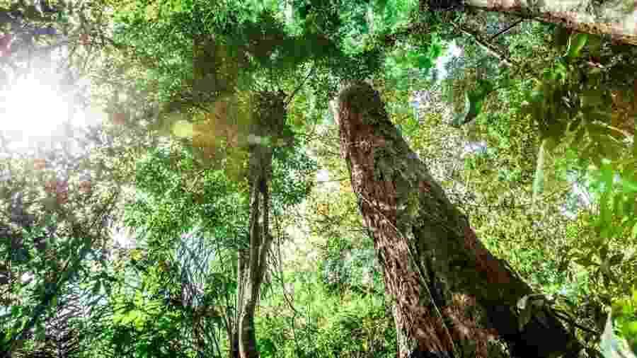 Uma única árvore gigante é capaz de sequestrar a mesma quantidade de carbono da atmosfera que 300 a 500 árvores pequenas - Getty Images/BBC