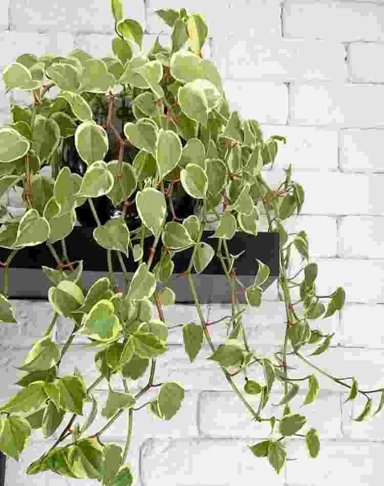 Peperômia filodendro - Reprodução/Pinterest - Reprodução/Pinterest