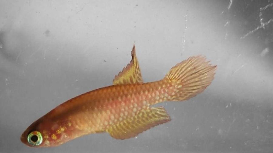 """Peixe raro de 3 centímetros """"parou"""" indústria bilionário de alimentos - Divulgação/UFRRJ"""