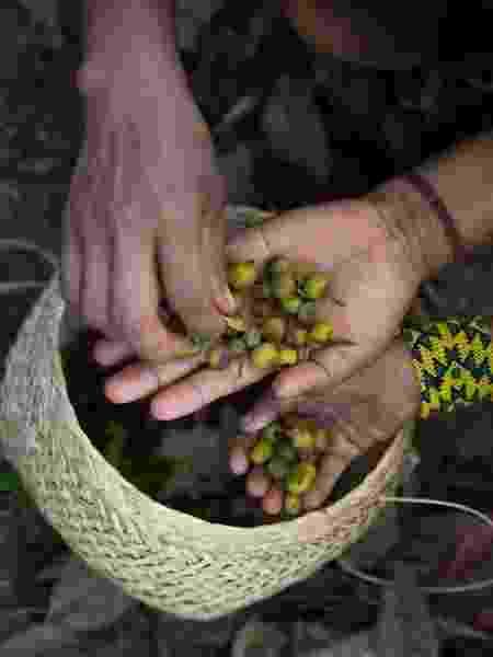 As sementes coletadas pelas mulheres Yarang já ajudaram a plantar 1 milhão de árvores - Carol Quintanilha/Instituto Socioambiental - Carol Quintanilha/Instituto Socioambiental