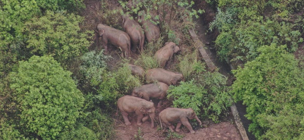 Elefantes na China - Handout /Yunnan Provincial Command of the Safety Precautions of the Migrating Asian Elephants/AFP