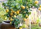 Árvores frutíferas podem ser cultivadas até na varanda do apê - Reprodução/Yes Wedding