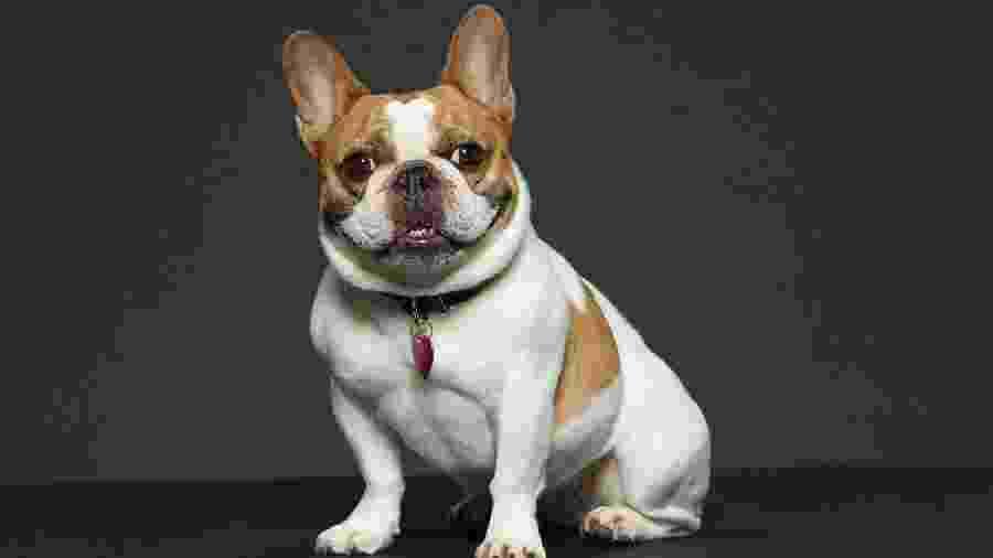 "A buldogue Beatrice, que viveu Stella na série ""Modern Family"" - Bob D""Amico/Walt Disney Television via Getty"