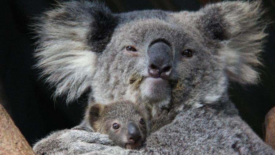 Bebê é o quinto filhote da fêmea Willow no zoológico australiano - Reprodução