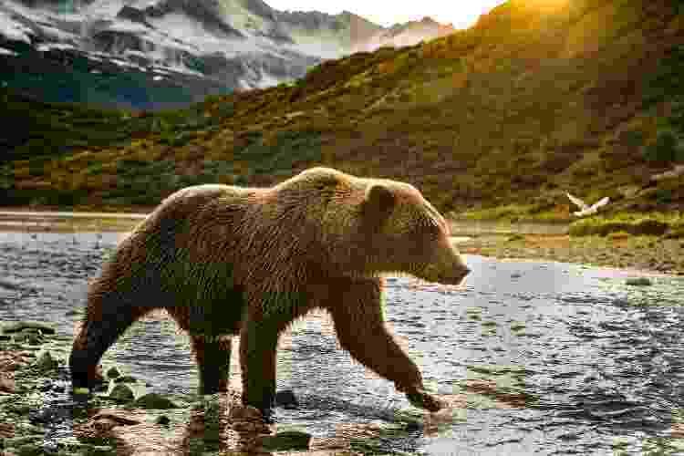 """Um exemplar """"grizzly bear"""" na temporada de pesca do salmão, no Alasca - Getty Images/iStockphoto - Getty Images/iStockphoto"""
