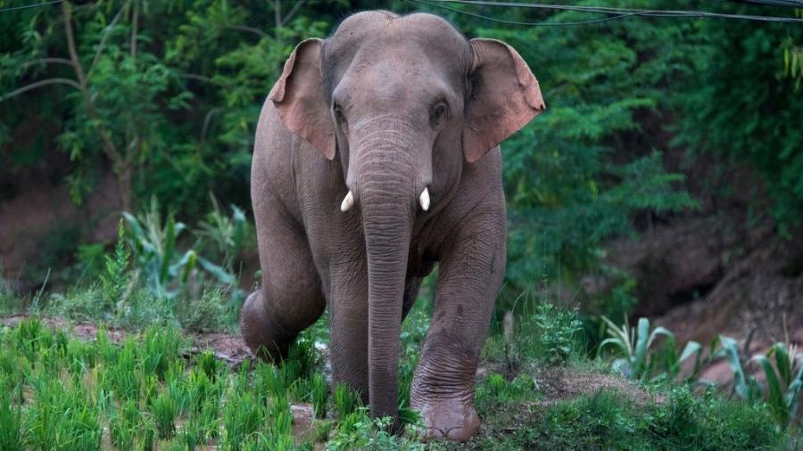 Um dos 22 elefantes selvagens do rebanho - VCG via Getty Images
