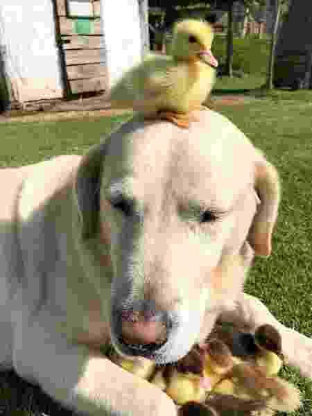 Cachorro que adotou nove filhotes de pato (V) - Mountfitchet Castle/Bav Media - Mountfitchet Castle/Bav Media