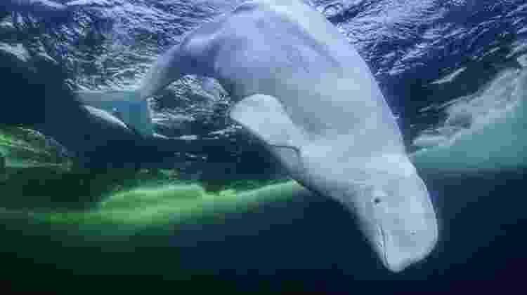Uma baleia-branca olhando para a câmera - Amos Nachoum/BBC - Amos Nachoum/BBC