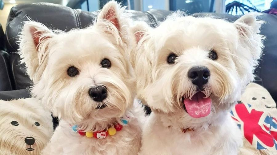 Sasha e Piper, os dois terriers que são estrelas do perfil Lomodoggies - Reprodução/Instagram @lomodoggies