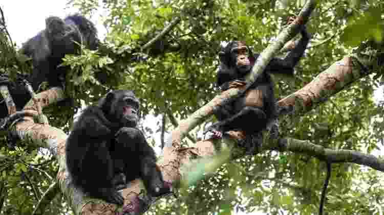 Chimpanzés no Parque Nacional de Gombe, Tanzânia - Getty Images - Getty Images
