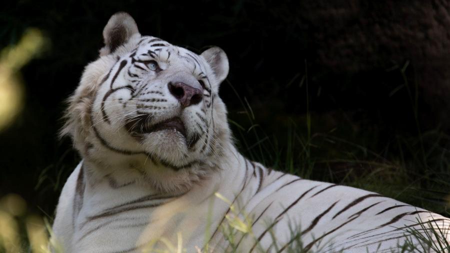 Um dos tigres brancos que foi do Ecoparque, em Buenos Aires, para os Estados Unidos - Reprodução Facebook @ecoparqueba