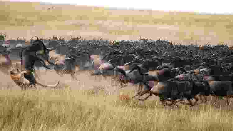 Leão e gnu travam luta pela vida no Maasai Mara - Divulgação/ GreatPlainsConservation - Divulgação/ GreatPlainsConservation