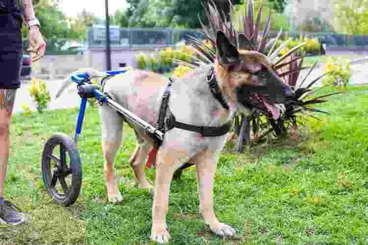 Cadeira de rodas é recurso que possibilita mobilidade a animais com lesões - Getty Images - Getty Images