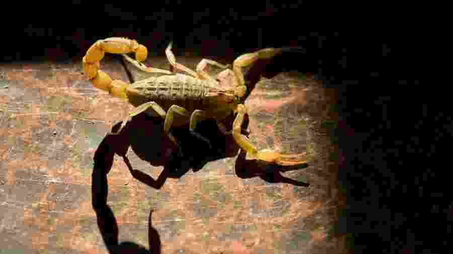 O escorpião amarelo é o mais perigoso e as fêmeas são capazes de se reproduzir sem o macho - fikretozk/iStock
