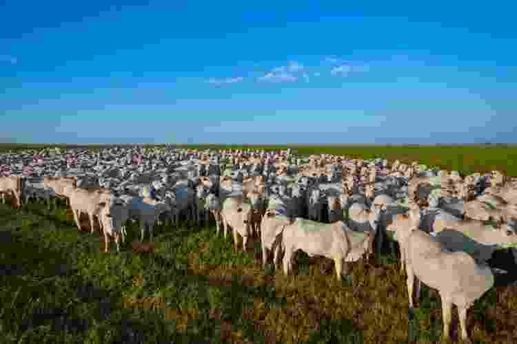 Rebanho de Nelore em Mato Grosso do Sul - Erich Sacco/Getty Images/iStockphoto - Erich Sacco/Getty Images/iStockphoto