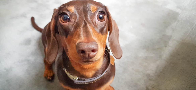 Dachshund, mais conhecido como cão salsicha, é uma das raças mais acometidas por hérnias de disco - Getty Images