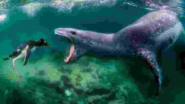Nas águas geladas da Antártida, Amos Nachoum fotografou uma foca-leopardo caçando um pinguim - Amos Nachoum/BBC - Amos Nachoum/BBC