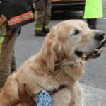 Em 2015, um cão-guia se jogou na frente de um ônibus escolar para tentar proteger sua dona cega e ficou ao seu lado enquanto equipes de emergência atenderam os dois. O motorista disse que não viu o golden retriever Figo e sua dona, Audrey Ston, atravessarem a estrada. Ele recebeu uma intimação por não parar para um pedestre. As crianças que estavam no ônibus não ficaram feridas - Reprodução